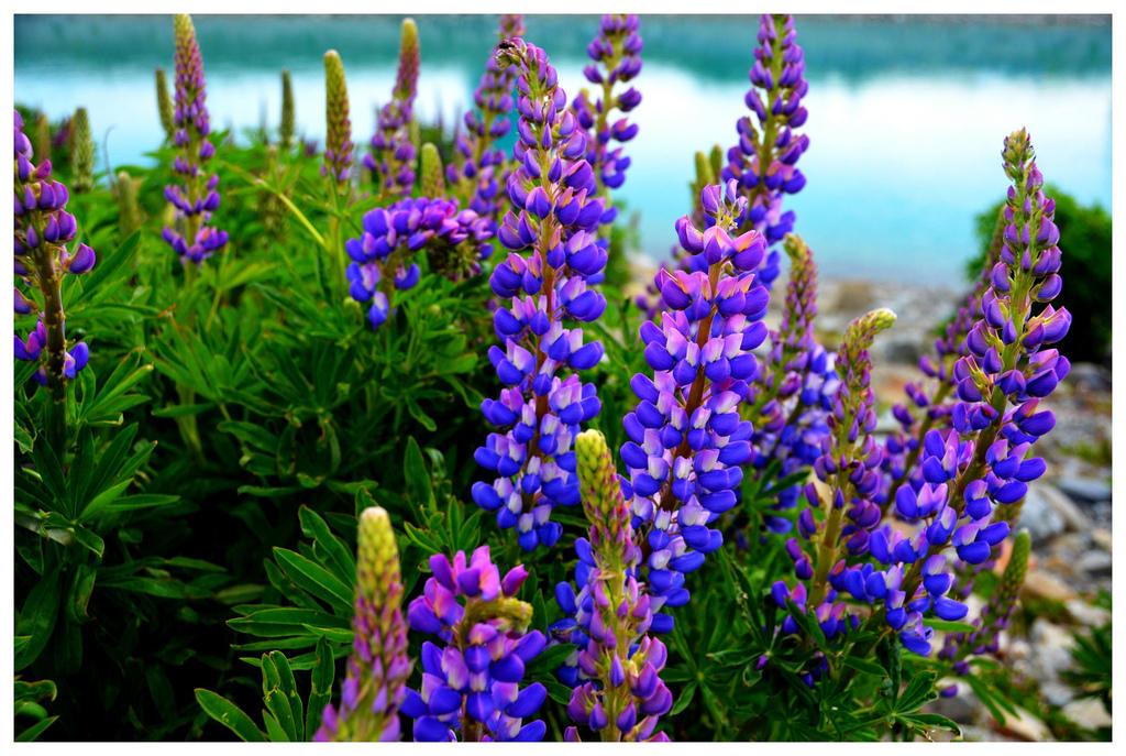 8214047996 6b1b040ecd b Красочное цветение люпинов на озере Текапо