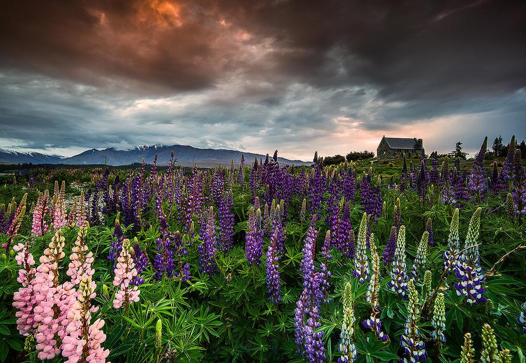 8217721300 3deb97f3d9 b Красочное цветение люпинов на озере Текапо