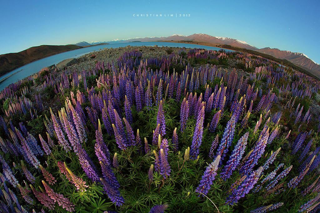 8231833089 9083904dc9 b Красочное цветение люпинов на озере Текапо