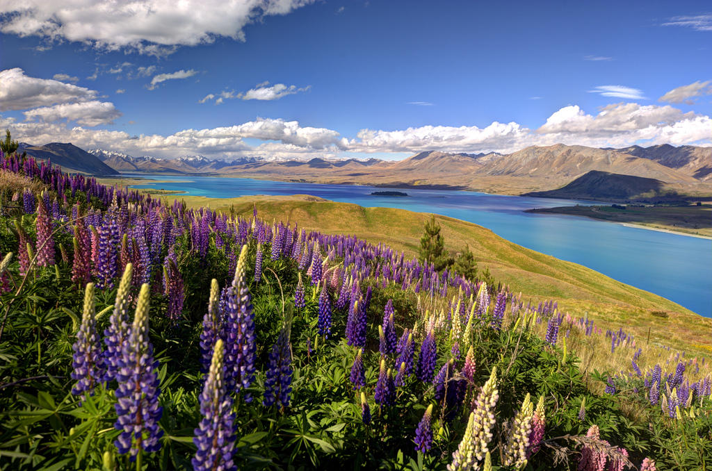 8296862912 732579ebec b Красочное цветение люпинов на озере Текапо