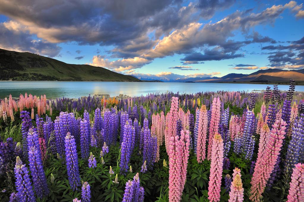 8313302749 5bbe8af392 b Красочное цветение люпинов на озере Текапо