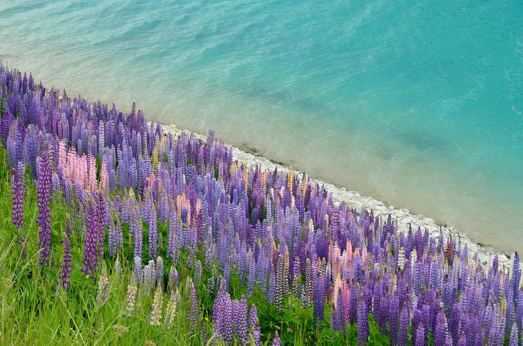 8529697015 d8af0daaba b Красочное цветение люпинов на озере Текапо