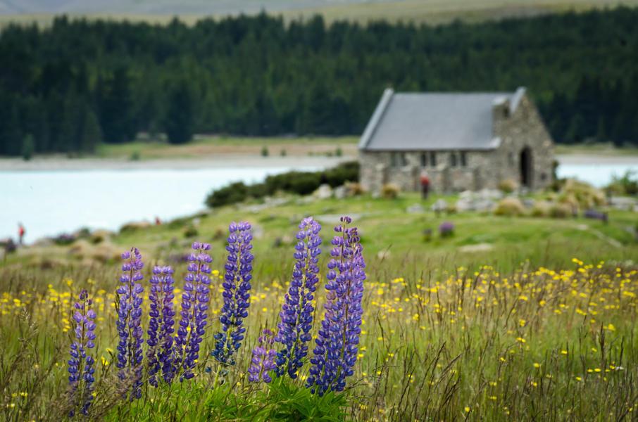 8591864900 32666db0f2 b Красочное цветение люпинов на озере Текапо