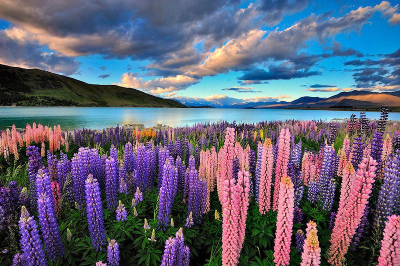 BIGPIC44 Красочное цветение люпинов на озере Текапо