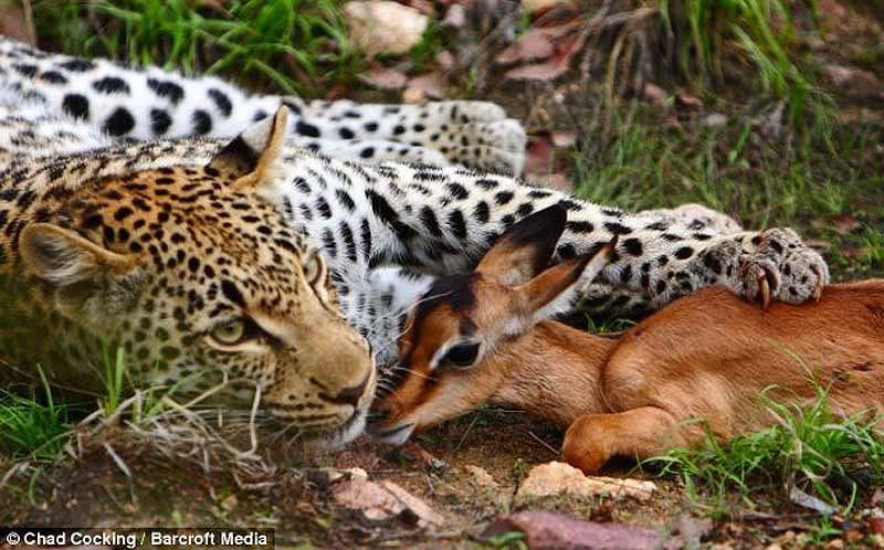 Leopard snuggles with impala 1 ������� � ������   ������������� �����