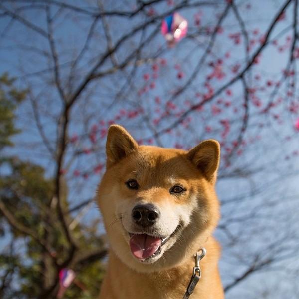 Marutaro14 Милый пёс Марутаро