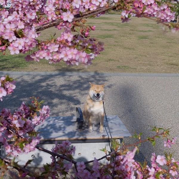 Marutaro17 Милый пёс Марутаро