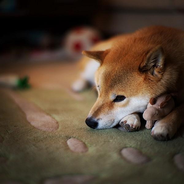Marutaro23 Милый пёс Марутаро