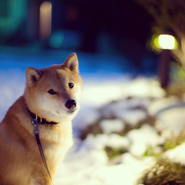 Marutaro24 Милый пёс Марутаро