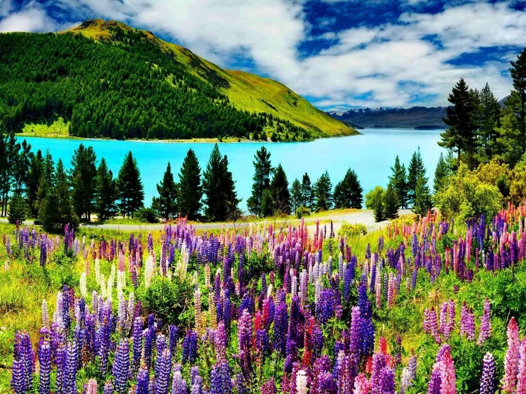 Tekapo01 Красочное цветение люпинов на озере Текапо