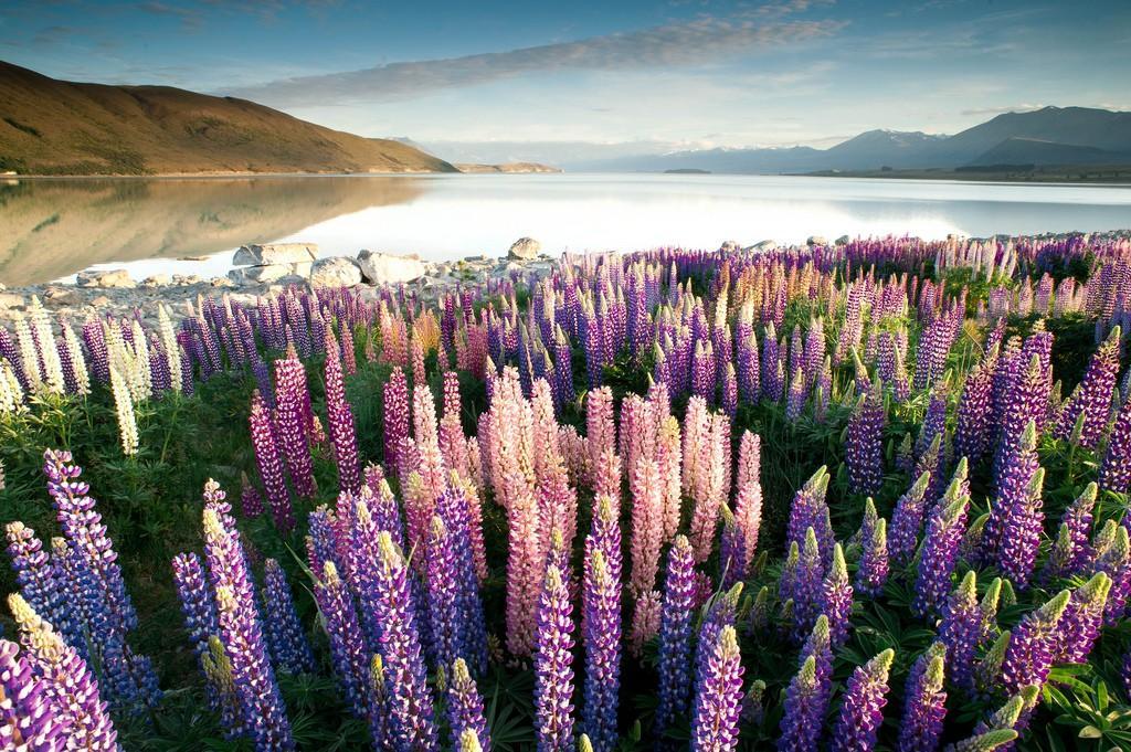 Tekapo05 Красочное цветение люпинов на озере Текапо