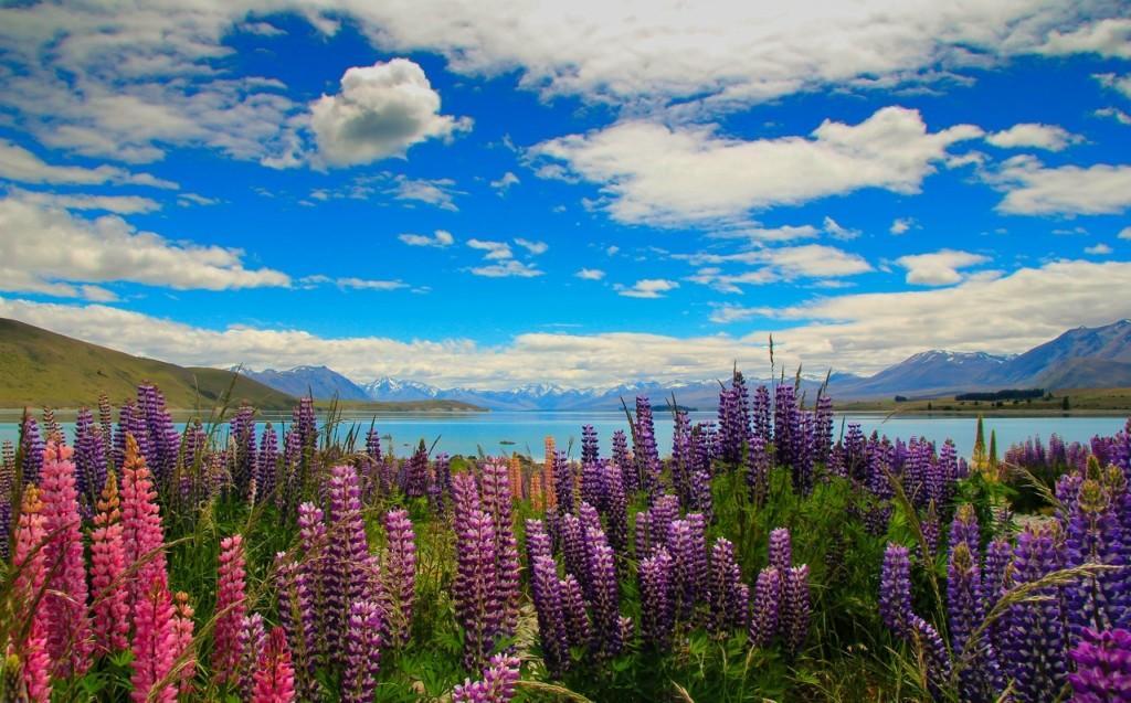 Tekapo08 Красочное цветение люпинов на озере Текапо
