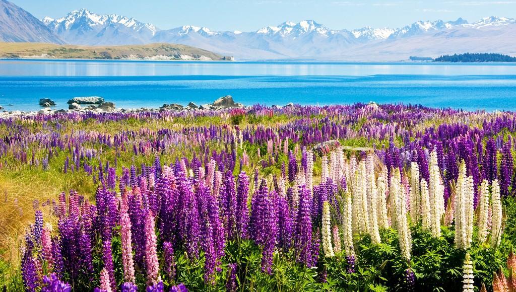 Tekapo11 Красочное цветение люпинов на озере Текапо