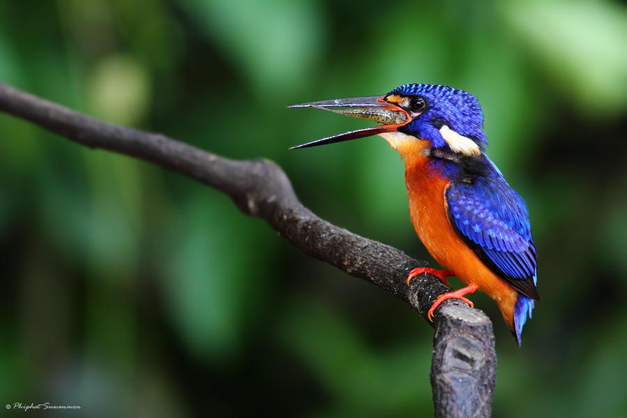 atthis01 Поразительные кадры рыбалки голубого зимородка