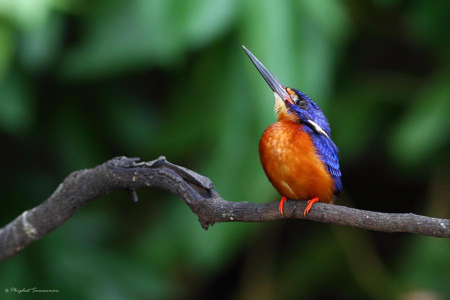 atthis02 Поразительные кадры рыбалки голубого зимородка