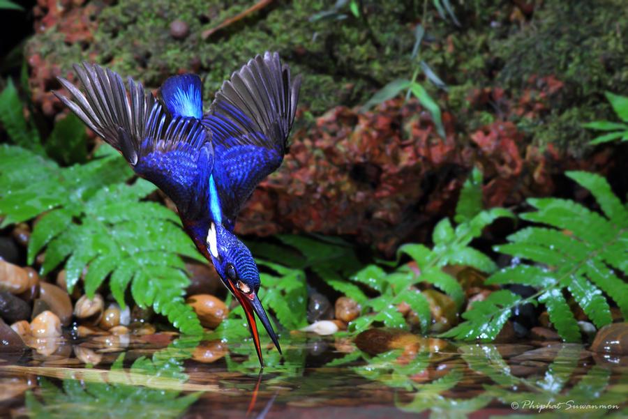 atthis03 Поразительные кадры рыбалки голубого зимородка