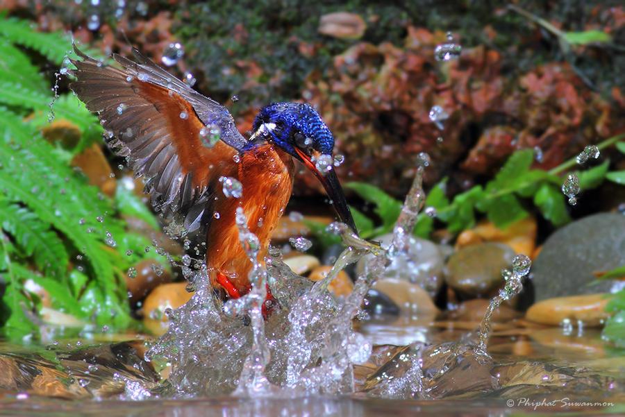 atthis04 Поразительные кадры рыбалки голубого зимородка