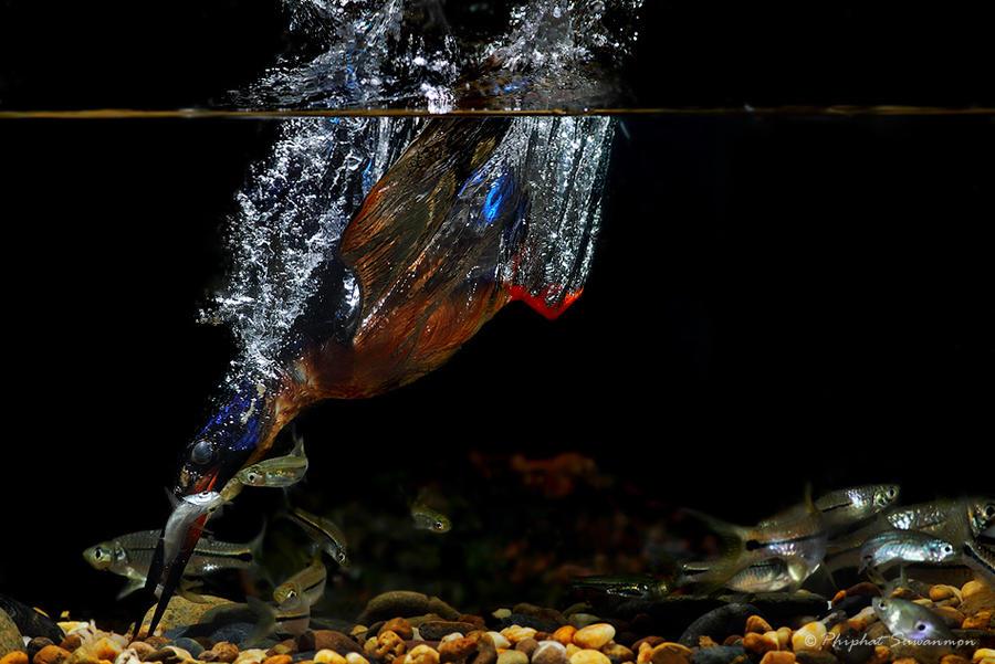 atthis05 Поразительные кадры рыбалки голубого зимородка