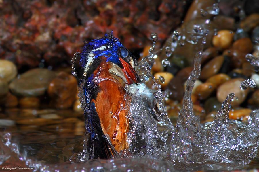 atthis06 Поразительные кадры рыбалки голубого зимородка