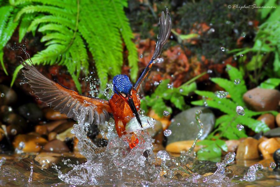 atthis07 Поразительные кадры рыбалки голубого зимородка