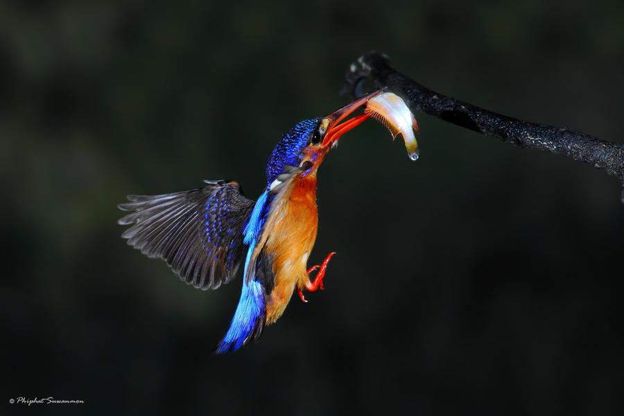 atthis09 Поразительные кадры рыбалки голубого зимородка
