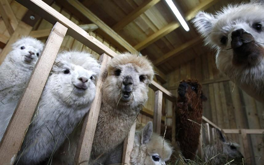 denstrijkialpakvGermanii 9 День стрижки альпак в Германии