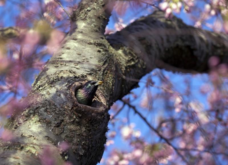 Фестиваль цветения сакуры в Вашингтоне 2013