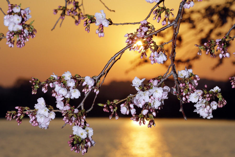 Лаура Уимхофф из Колумбуса, штат Огайо, фотографирует цветущую вишню.