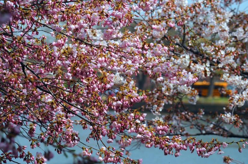 cherry blossom festival - 982×653