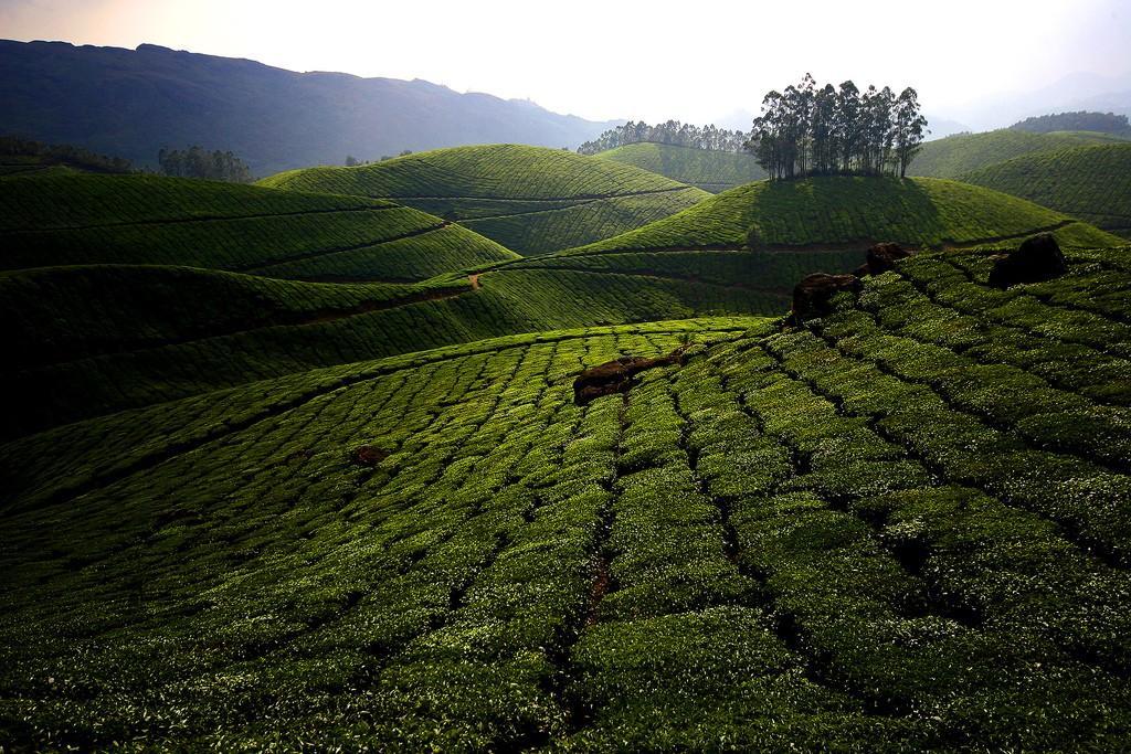 teaplantation02 ������� ����� ������ ��������� � �����