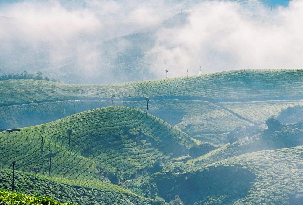 teaplantation03 Зеленые ковры чайных плантаций в Индии
