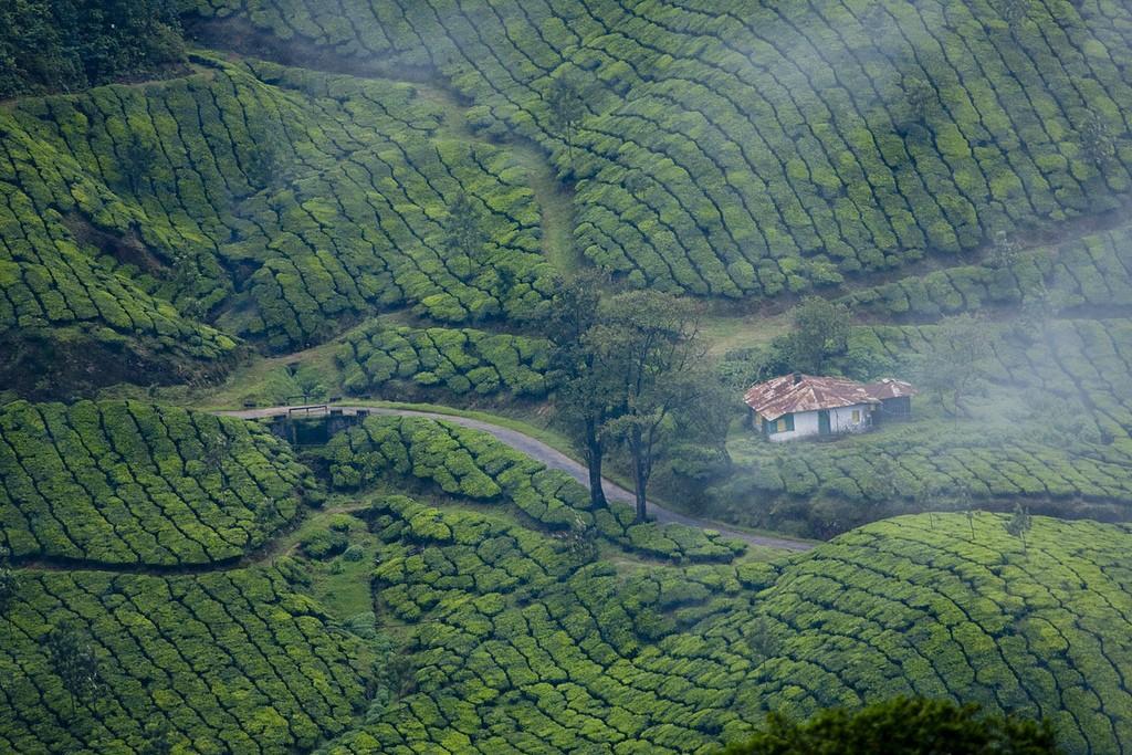 teaplantation04 Зеленые ковры чайных плантаций в Индии