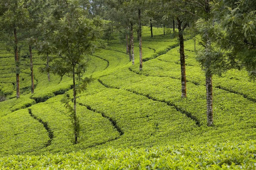 teaplantation05 Зеленые ковры чайных плантаций в Индии
