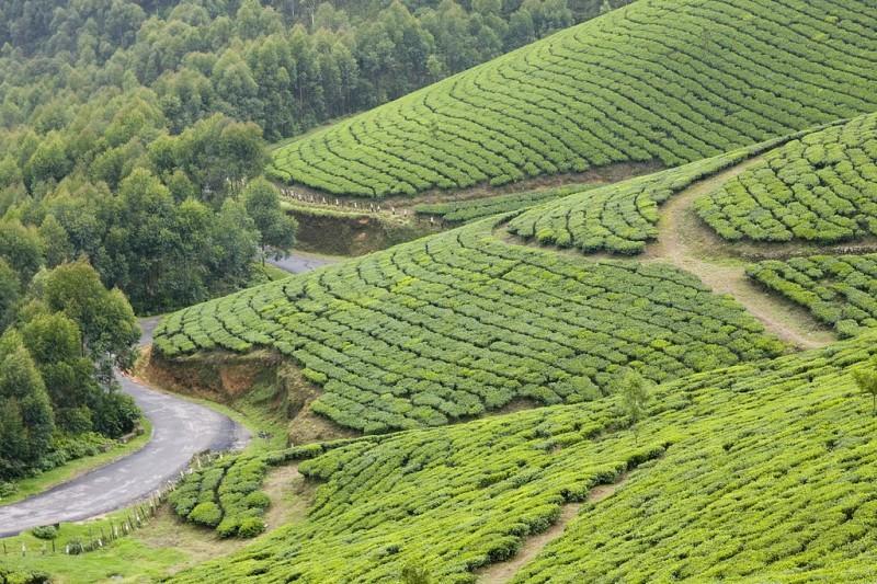 teaplantation06 800x533 Зеленые ковры чайных плантаций в Индии
