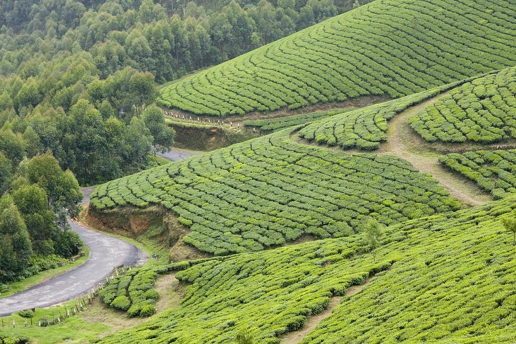 teaplantation06 Зеленые ковры чайных плантаций в Индии