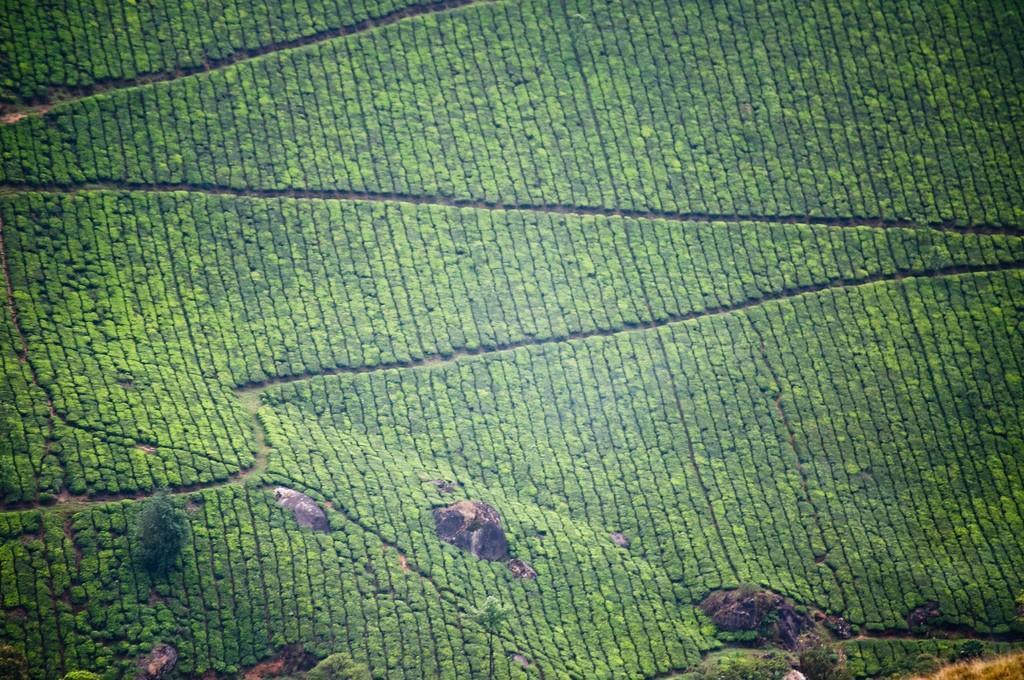 teaplantation07 Зеленые ковры чайных плантаций в Индии