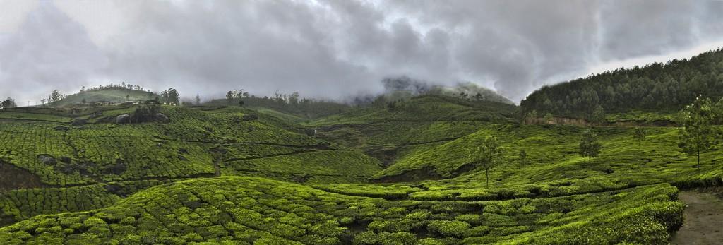 teaplantation10 Зеленые ковры чайных плантаций в Индии