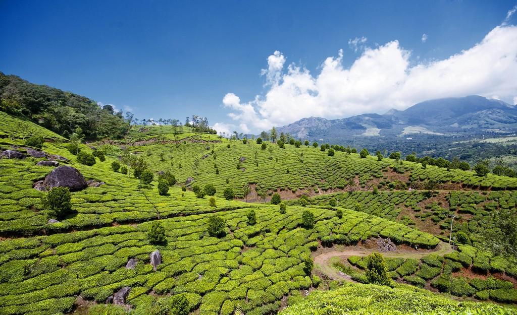 teaplantation11 Зеленые ковры чайных плантаций в Индии