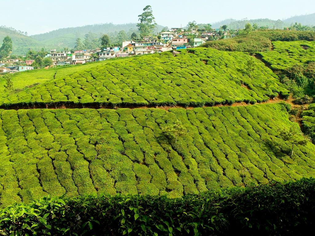 teaplantation12 Зеленые ковры чайных плантаций в Индии