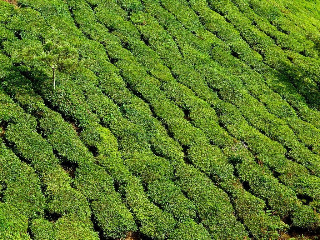 teaplantation13 Зеленые ковры чайных плантаций в Индии