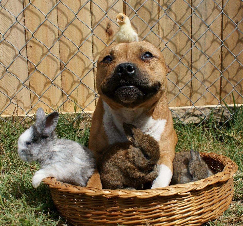 the Pit Bull who Loves Birds and Rabbits 1 Бум   питбуль, который любит кроликов