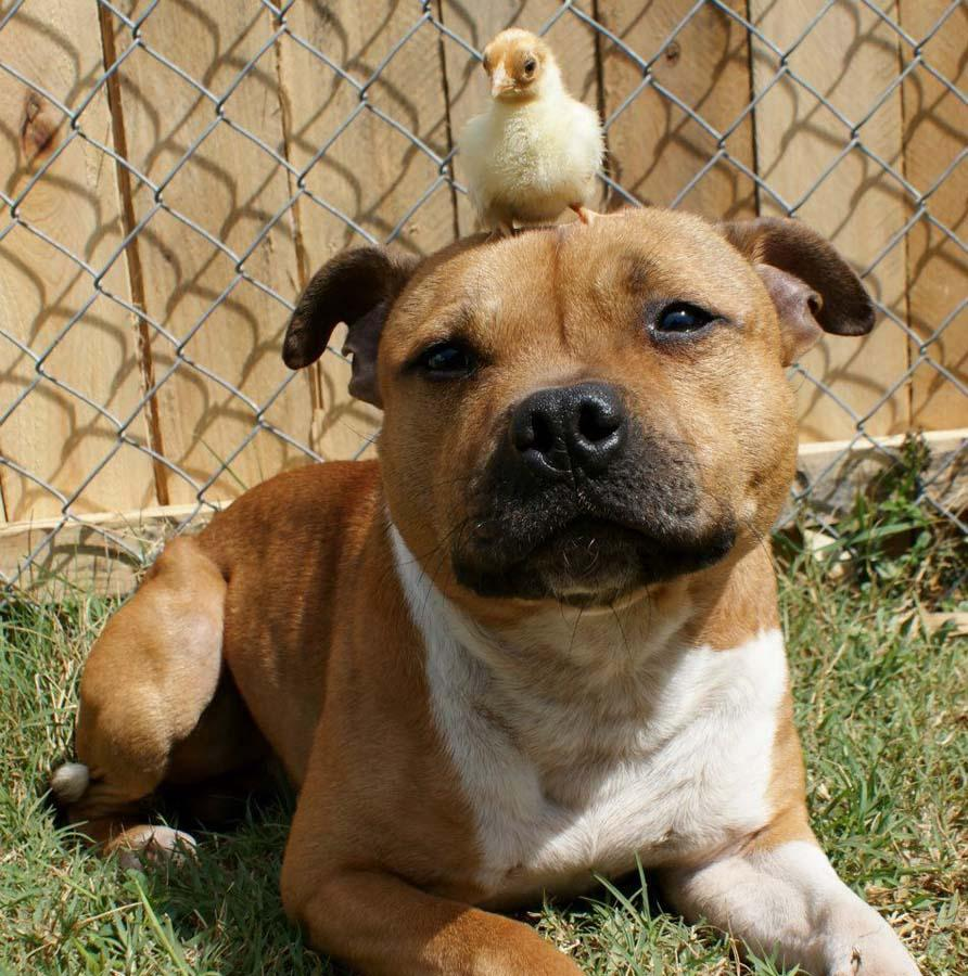 the Pit Bull who Loves Birds and Rabbits 2 Бум   питбуль, который любит кроликов