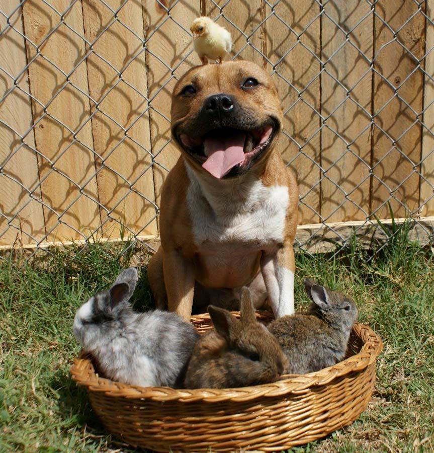 the Pit Bull who Loves Birds and Rabbits 3 Бум   питбуль, который любит кроликов