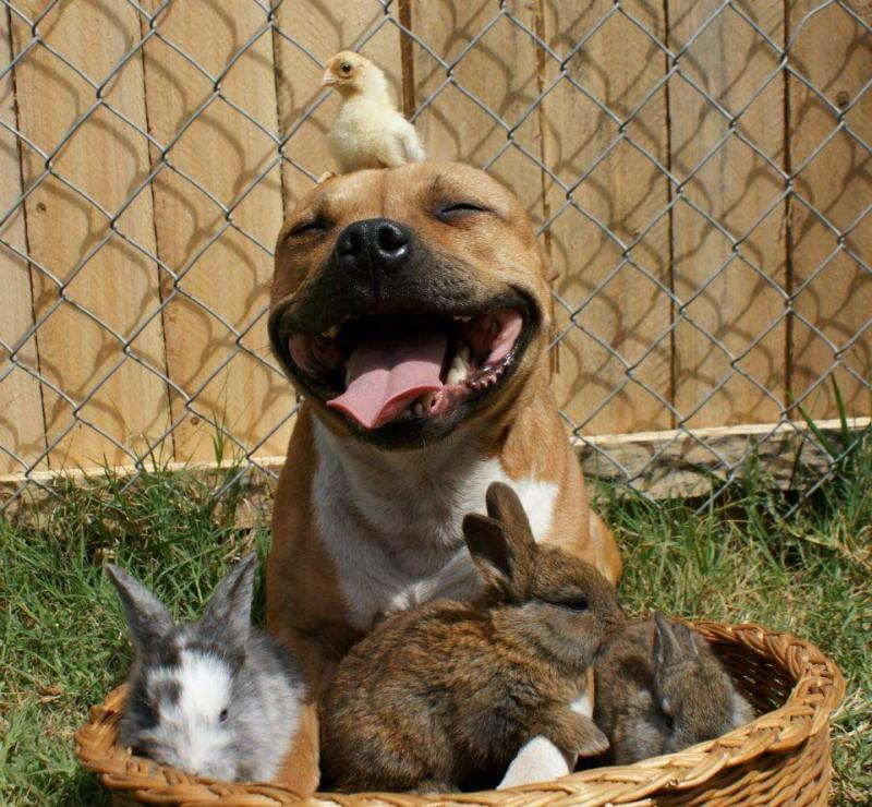 the Pit Bull who Loves Birds and Rabbits 8 800x740 ���   �������, ������� ����� ��������