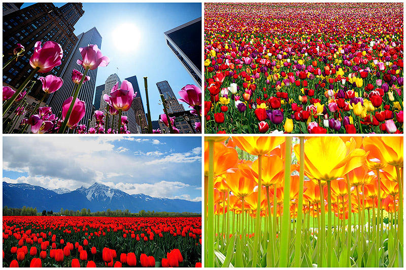 Самые яркие тюльпаны со всегосвета