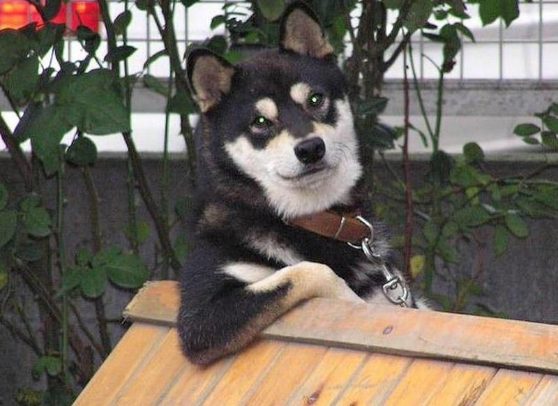BIGPIC45 Чудесные собаки породы сиба ину