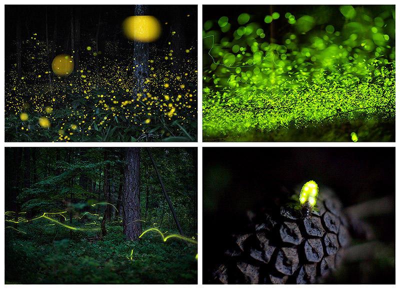 BIGPIC47 Светлячки в лесу