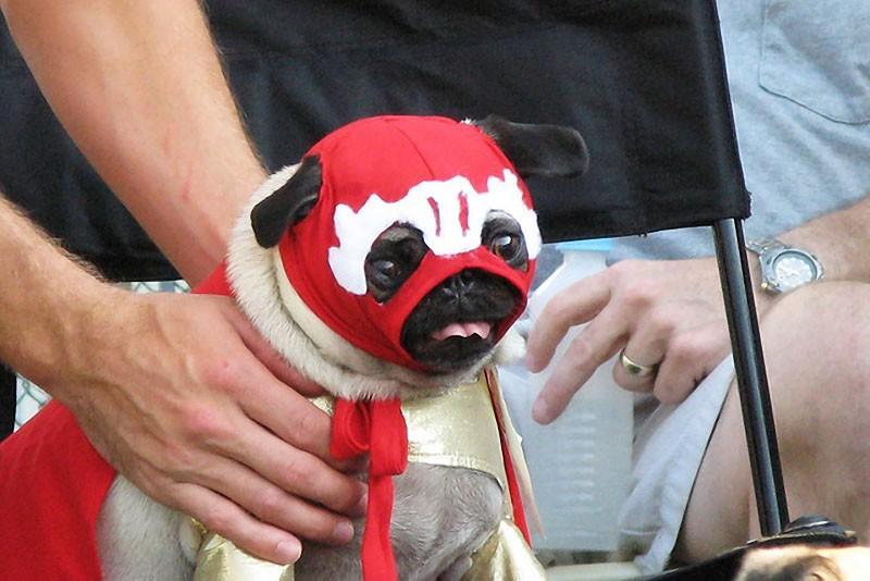 Pugs10 Веселые мопсы  мастера маскировки