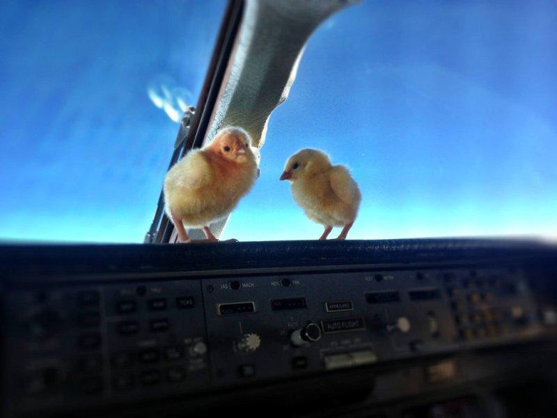Цыплята учатся летать