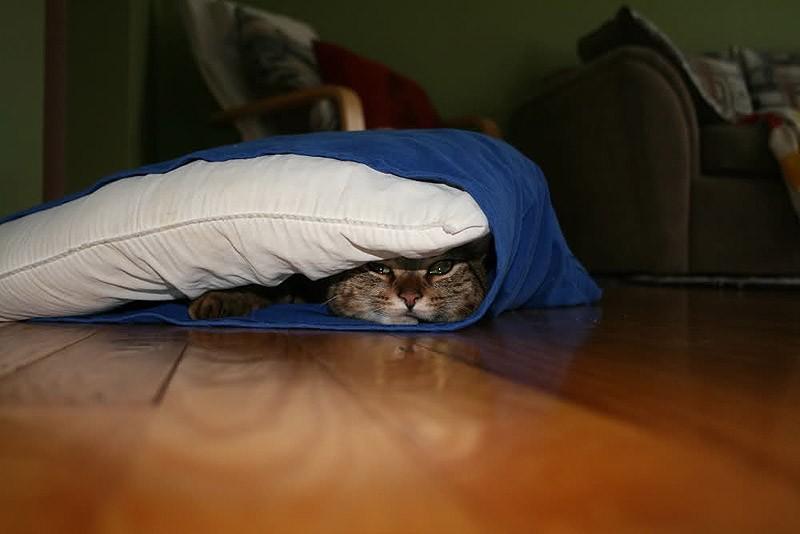 hidingcats14 Кошки, которые не умеют играть в прятки
